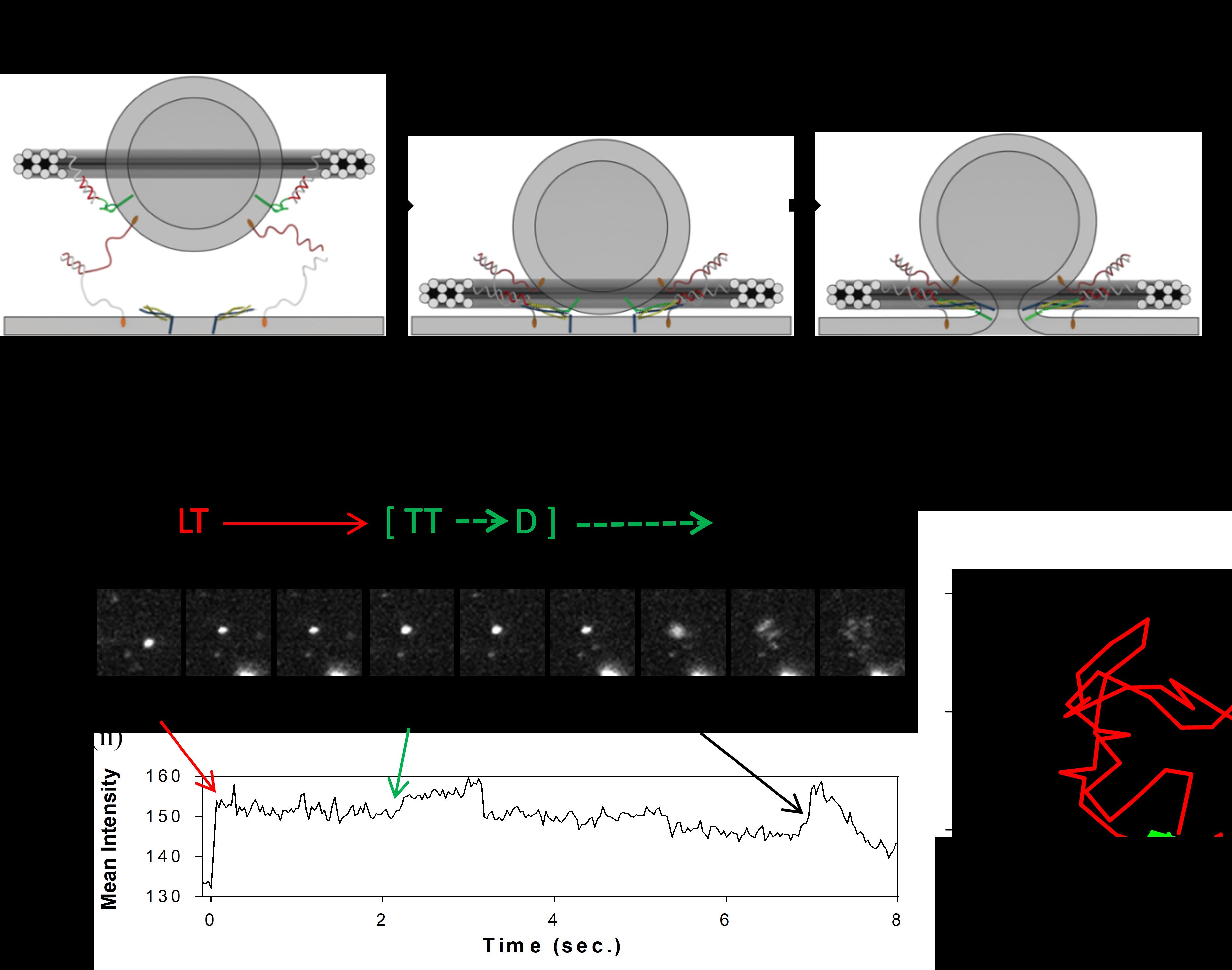 DNA origami to control single fusion events | Membrane Molecular ...